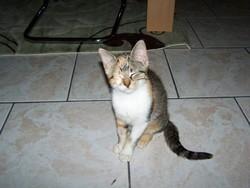 Orphée, chat Européen