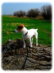 Fripouil, chien Jack Russell Terrier