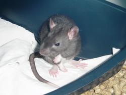 Tigan, rongeur Rat