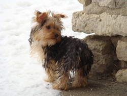 Lady Shirley, chien Yorkshire Terrier