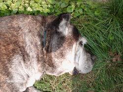 Katcha, chien Cane Corso