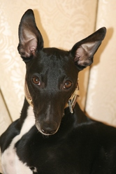 Charck, chien Whippet