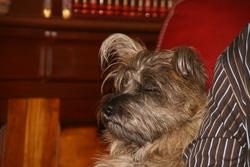 Dark, chien Cairn Terrier