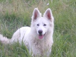 Calice, chien Berger blanc suisse