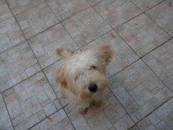 Didou, chien Berger des Pyrénées