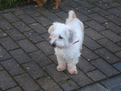 Daisy, chien Coton de Tuléar