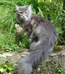 Fatoon, chat Maine Coon