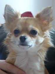Daya, chien Chihuahua