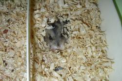 Mistigris, rongeur Hamster