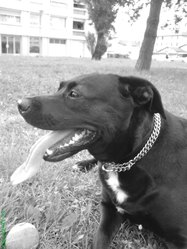 Tazia, chien