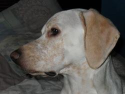 Diabolo, chien Porcelaine