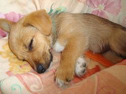 Fohxie, chien Welsh Corgi