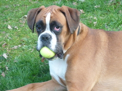 Filomène, chien Boxer