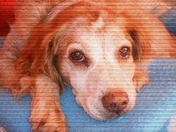 Caline, chien Épagneul breton