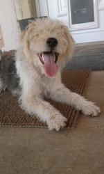 Eky, chien Fox-Terrier