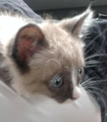 Mychoo, chat Siamois