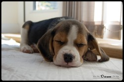 Filou, chien Beagle