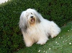 Nicky, chien Berger polonais de plaine