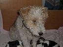 Dipsy, chien Fox-Terrier