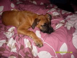Douna, chien Boxer
