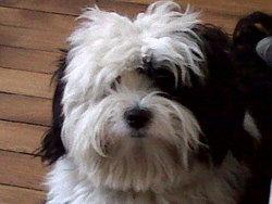 Eiffel, chien Terrier tibétain