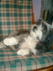 Chicoille, chien Petit chien courant suisse