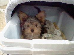 Louki, chien Yorkshire Terrier