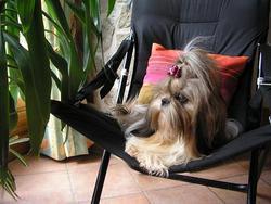 Blanka, chien Shih Tzu