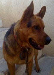 Dior, chien Berger allemand