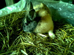 L'eiito, rongeur Lapin