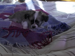 Dios, chien Chihuahua