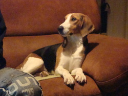 Gabrielle, chien Beagle-Harrier