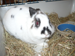 Hermione, rongeur Lapin