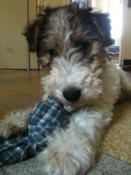 Goofy, chien Fox-Terrier