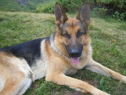 Noa, chien Berger allemand