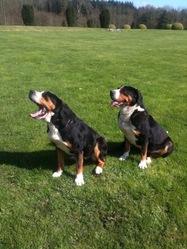 Vicky, chien Grand bouvier suisse