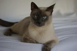 Faya, chat Thaï