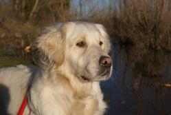 Cookai, chien Golden Retriever