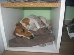 Coeurlie, chien Jack Russell Terrier
