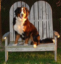 Mika, chien Bouvier bernois