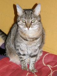Nougat, chat Gouttière