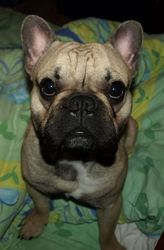 Pilou, chien Bouledogue français