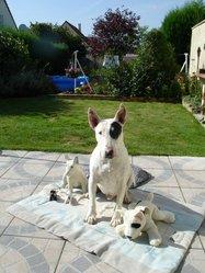 Odin Le Bull Ramier, chien Bull Terrier