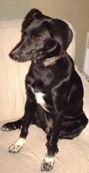 Princesse, chien Braque allemand à poil court