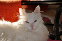 Perle - Disparue, chat Angora turc