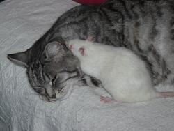 Petit Pied, chat