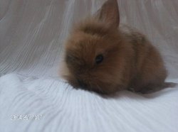 Isia, rongeur Lapin