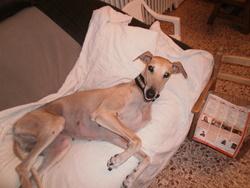 Alenca, chien Lévrier espagnol