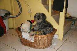 Fanfan, chien Caniche