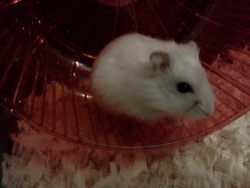 Pepette, rongeur Hamster